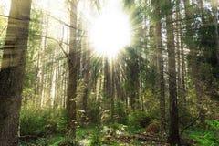 Bosque del pino del otoño con el sol en tonos amarillos Fotos de archivo libres de regalías