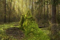 Bosque del pino del otoño con el tocón en luz del sol Foto de archivo