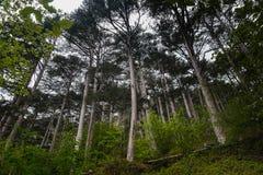 Bosque del pino del paisaje en las montañas Fotos de archivo libres de regalías