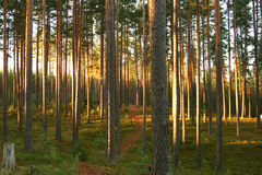 Bosque del pino del pino Fotos de archivo