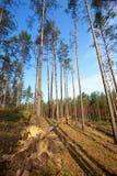 Bosque del pino del verano Fotografía de archivo libre de regalías