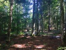 Bosque del pino dentro en el día soleado Foto de archivo libre de regalías