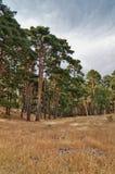 Bosque del pino e hierba seca Fotos de archivo