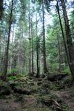 Bosque del pino en Cárpatos Imágenes de archivo libres de regalías