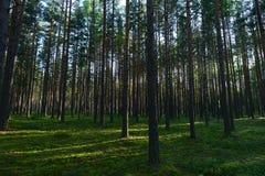 Bosque del pino en el amanecer teniendo en cuenta los rayos del sol de levantamiento de la mañana Foto de archivo
