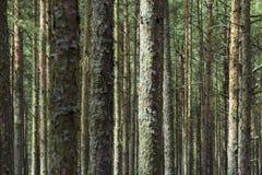 Bosque del pino en el escupitajo de Curonian Imagen de archivo libre de regalías