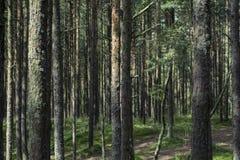 Bosque del pino en el escupitajo de Curonian Fotos de archivo