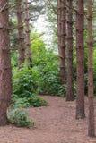 Bosque del pino en el Reino Unido Fotos de archivo libres de regalías