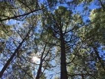 Bosque del pino en el top de la isla de Gran Canaria Fotos de archivo libres de regalías