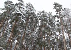 Bosque del pino en invierno Imagen de archivo libre de regalías