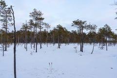Bosque del pino en invierno imágenes de archivo libres de regalías