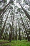 Bosque del pino en la estación de lluvias imagenes de archivo