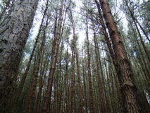 Bosque del pino en la estación turística de la colina del kodaikanal en la India Fotografía de archivo