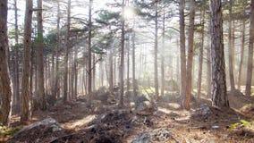 Bosque del pino en la luz del sol almacen de video