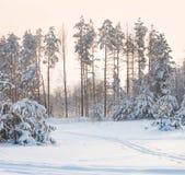 Bosque del pino en la puesta del sol Foto de archivo libre de regalías