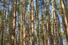 Bosque del pino en la sol de la primavera fotos de archivo