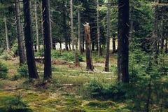 Bosque del pino en las montañas Fotografía de archivo libre de regalías