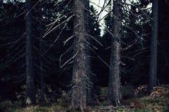 Bosque del pino en las montañas Foto de archivo libre de regalías