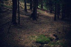 Bosque del pino en las montañas Fotos de archivo libres de regalías