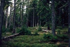 Bosque del pino en las montañas Foto de archivo
