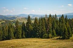 Bosque del pino en las montañas cárpatas Fotos de archivo libres de regalías