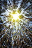 Bosque del pino en luz del sol Imagenes de archivo