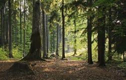 Bosque del pino en luz del sol imagen de archivo libre de regalías
