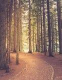 Bosque del pino en luz del sol Estilo retro Fotos de archivo