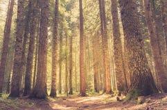 Bosque del pino en luz del sol Estilo retro Imagen de archivo