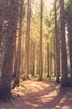 Bosque del pino en luz del sol Estilo retro Imagenes de archivo