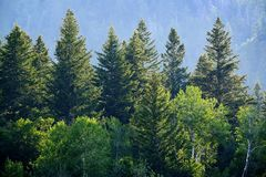 Bosque del pino en montañas del desierto Fotos de archivo libres de regalías