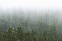 Bosque del pino en niebla Fotos de archivo libres de regalías