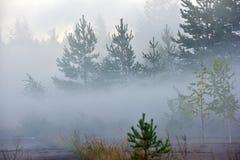 Bosque del pino en niebla densa Fotos de archivo libres de regalías