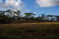 Bosque del pino en Phu Soi Dao Imagen de archivo libre de regalías