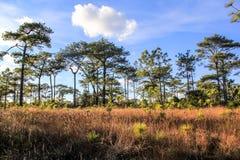 Bosque del pino en Phukadueng Imágenes de archivo libres de regalías