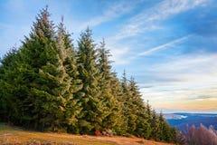 Bosque del pino en Transilvania imagen de archivo libre de regalías