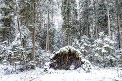 Bosque del pino en un día de invierno Imagenes de archivo