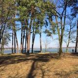 Bosque del pino en una orilla del lago Imágenes de archivo libres de regalías