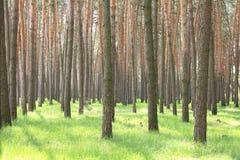 Bosque del pino en verano Árboles de pino en tiempo caliente claro Fotos de archivo