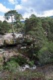 Bosque del pino escocés Foto de archivo libre de regalías