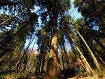 Bosque del pino granangular Fotografía de archivo