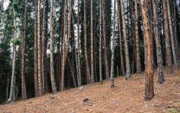 Bosque del pino inclinado Imágenes de archivo libres de regalías