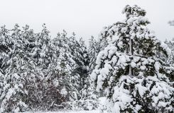 Bosque del pino del invierno cubierto con la nieve blanca fotos de archivo libres de regalías