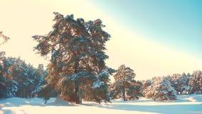 Bosque del pino del invierno en el movimiento de la luz del sol de la nieve árbol congelado del Año Nuevo de la Navidad de la hel almacen de metraje de vídeo