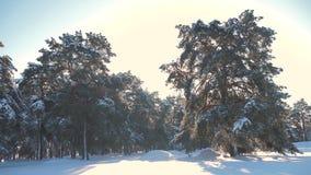 Bosque del pino del invierno en la forma de vida del movimiento de la luz del sol de la nieve árbol congelado del Año Nuevo de la metrajes