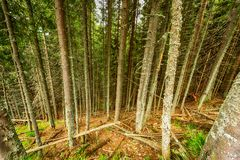 Bosque del pino por completo de los liquenes enfermos Fotos de archivo