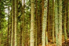 Bosque del pino por completo de los liquenes enfermos Imagenes de archivo