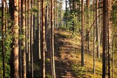 Bosque del pino por el lago Melkutin 1 Imagen de archivo libre de regalías