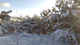 Bosque del pino por la mañana fotografía de archivo libre de regalías