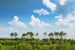 Bosque del pino sobre el cielo y un prado Imágenes de archivo libres de regalías